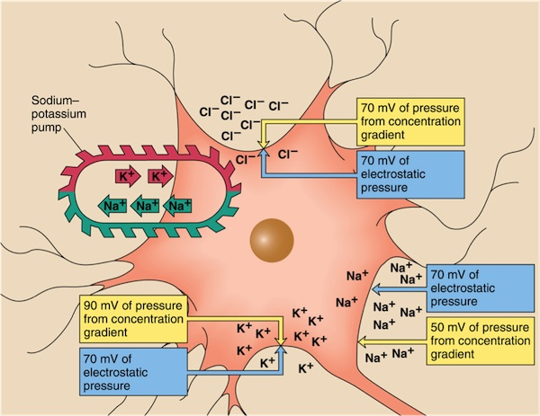 to respond neuron s resting potential typical resting potential isResting Potential Of A Neuron