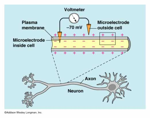 resting potential electrodesResting Potential Of A Neuron